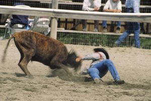 Rodeo, cowboy steer wrestling