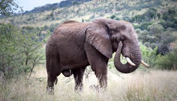 Bull African elephant walking through grassland, Pilanesberg National Park, South Africa