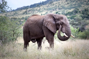 Bull African elephant walking through grassland, Pilanesberg National Park, South Africa