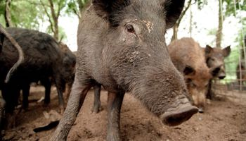 Feral hogs like these at Roger McMillin's ranch near Stephen